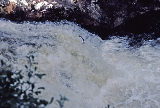 Salmon Leaping at the Falls of Shin, Sutherland
