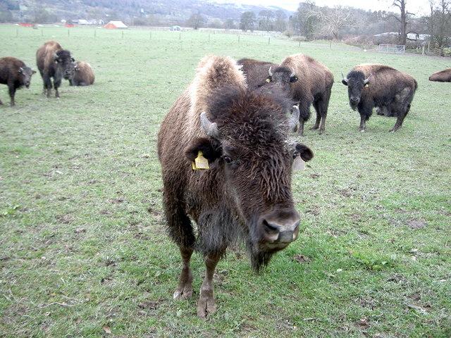 Bison on the Rhug estate - 4