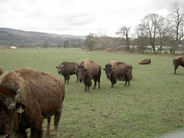 Bison on the Rhug estate - 6