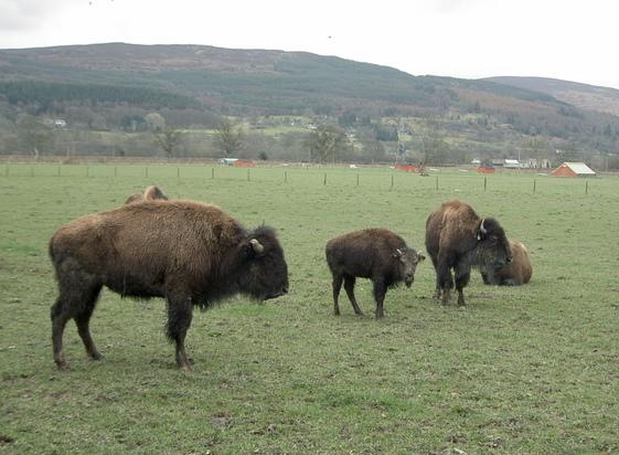 Bison on the Rhug estate - 5