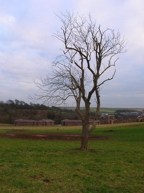 Oak near the University of Sussex