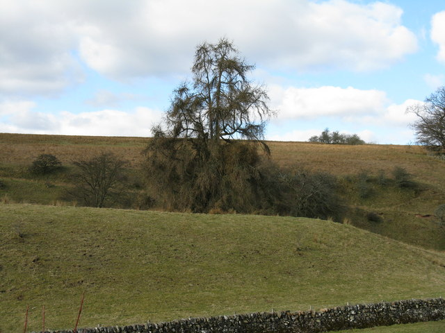 Large larch at Mollinburn