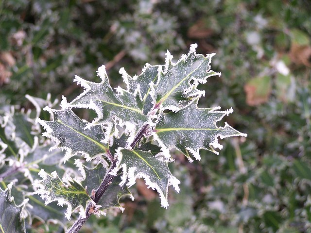The Holly and The Hoar Frost ....