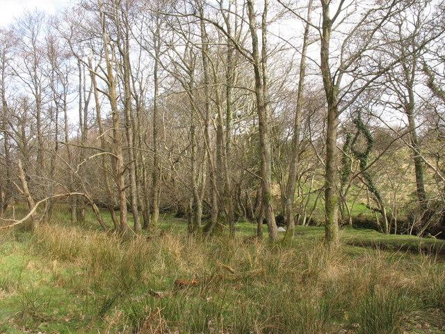 Woodland along the banks of Afon Carrog
