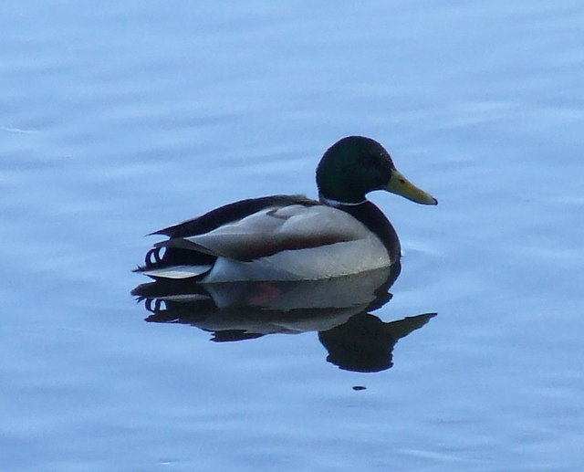 Mallard on Kip Water