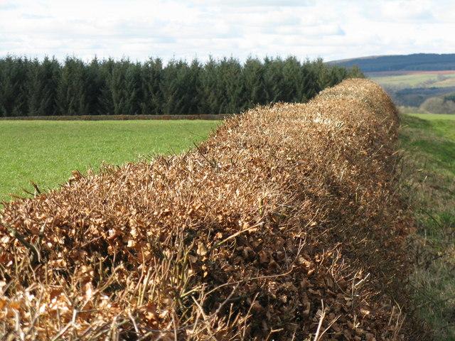 Beech hedge on Heathfield Moor