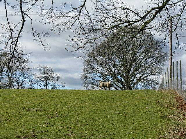 Sheep and trees at Blackburn
