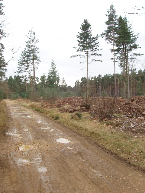 Cleared forest by Windsor Ride
