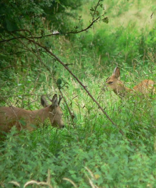 Wild deer near Canonteign falls