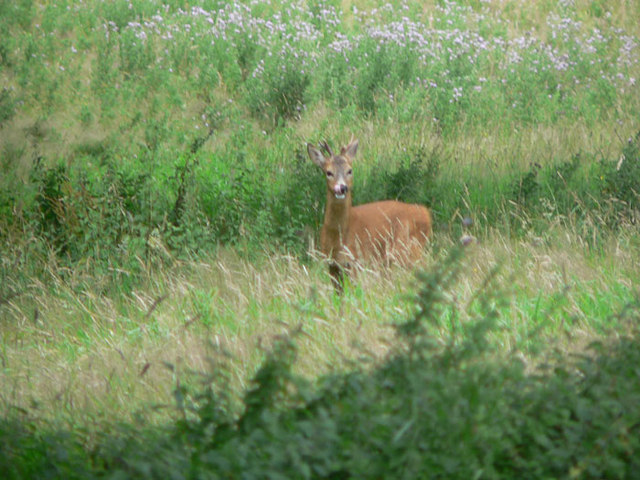 Wild deer at Canonteign