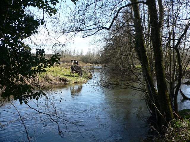 River Teign and Friesian cows