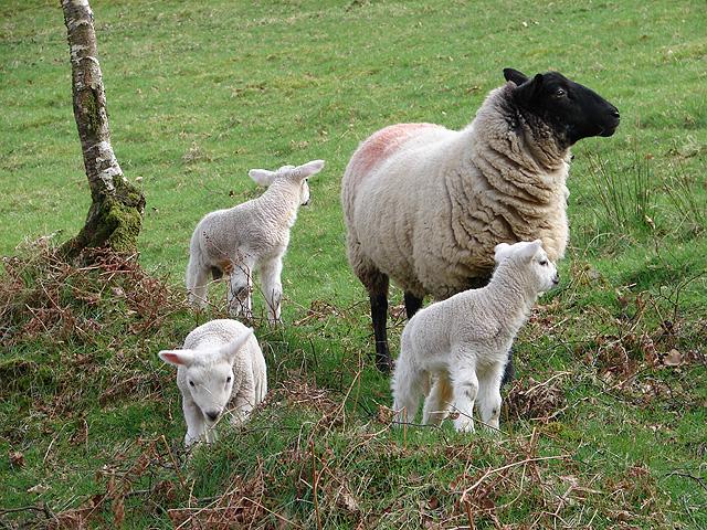 Ewe and lambs at Derwen