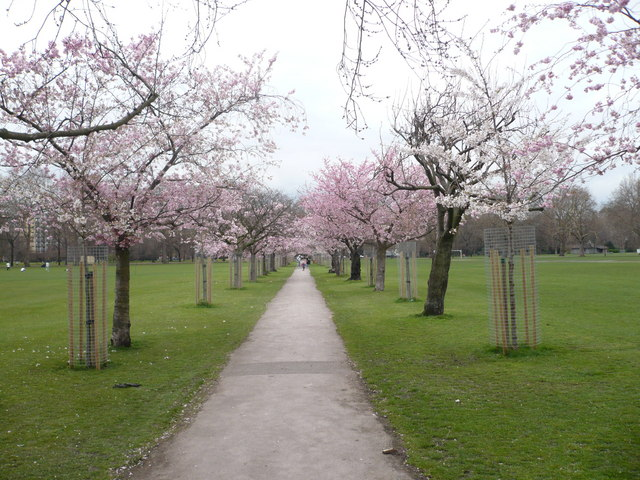 An avenue of flowering cherry trees in Battershea Park