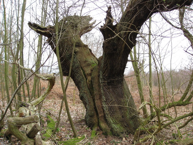 Sherwood Forest - Unusual Tree Shape
