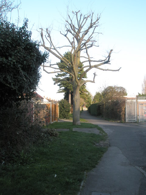 Severely pollarded tree  in Drayton Park