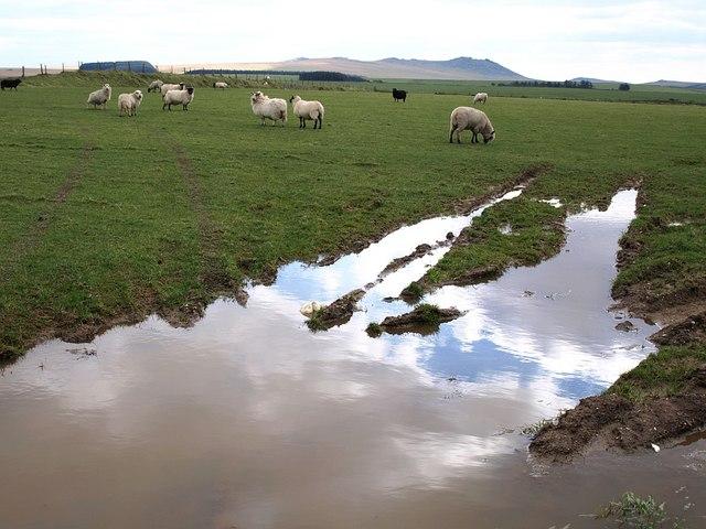 Sheep near Carcade