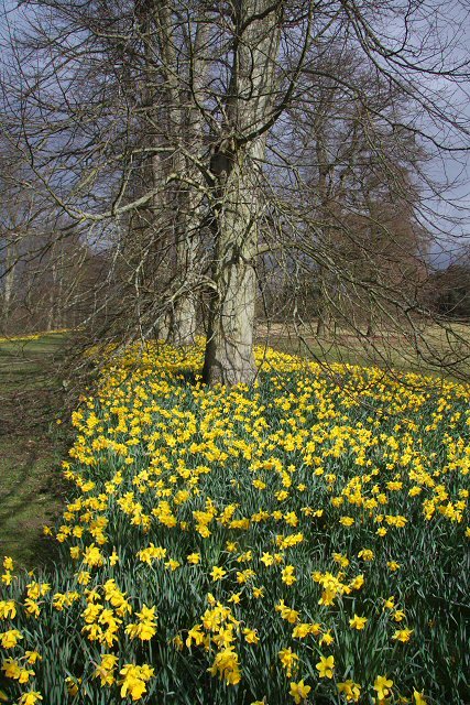 Daffodils in Nowton Park