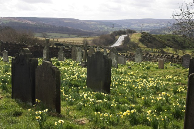 Wild daffodils in the cemetery