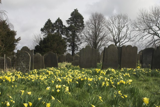 A fine show of wild daffodils