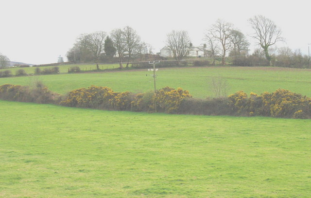 Gorse hedges in the fields of Gadlys Farm