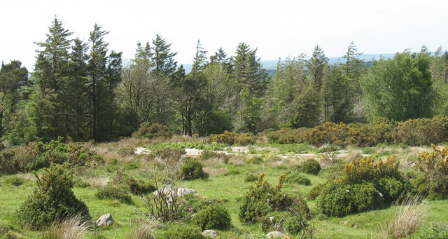 Small gorse bushes and patches of grazing land at the edge of Coed Rhiwlas