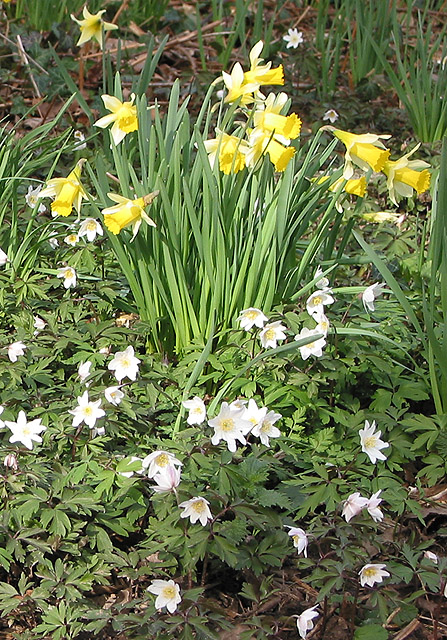 Wild daffodils and wood anemones
