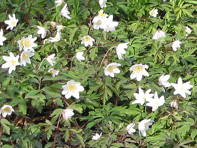 A patch of wood anemones