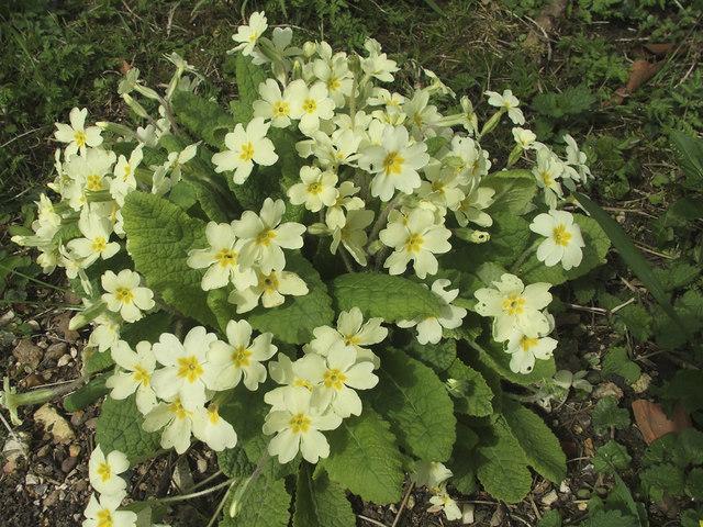 Primroses in garden, Hughenden Manor, Buckinghamshire