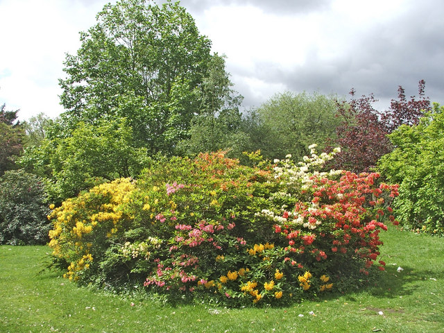Deciduous azaleas in garden at Forty Hall, Enfield