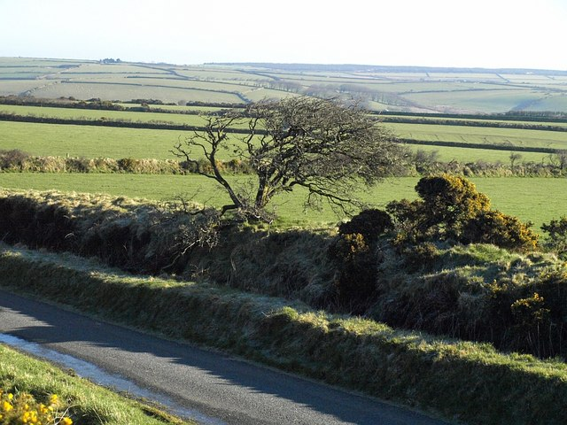 Tree by the lane to Trewinnow