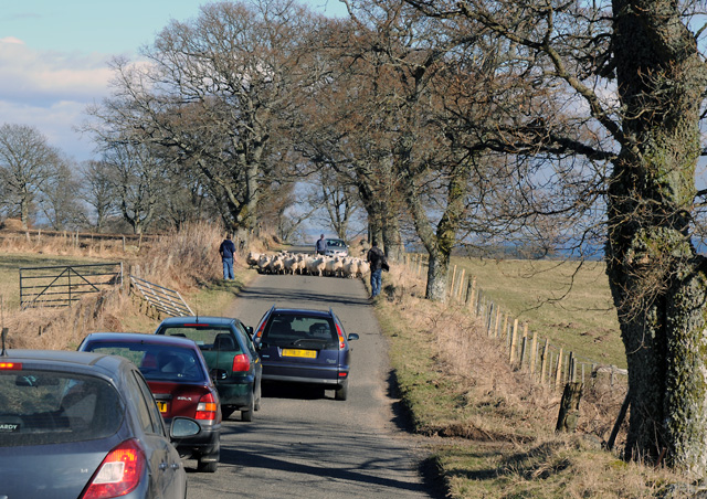 Traffic Hold-up caused by Sheep on the Road