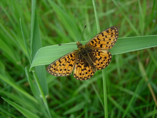 Small Pearl-bordered Fritillary, Boloria (Clossiana) selene