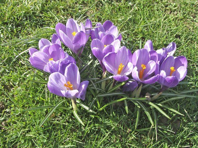Crocuses, Chase Green, Enfield