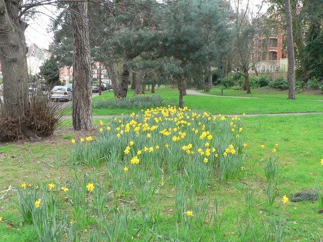 Bournemouth: Knyveton Gardens daffodils