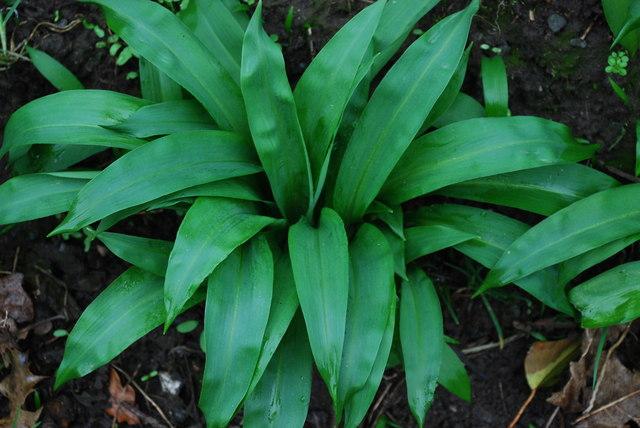 Craf y Geifr - Allium ursinum - Ramsons