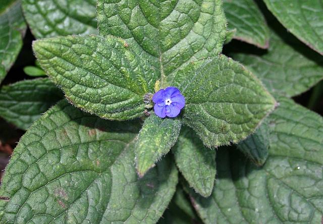 Green Alkanet - First Flower, Watery Lane