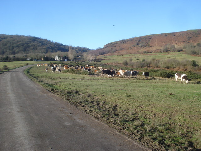 Cattle by the Castlemorton lane