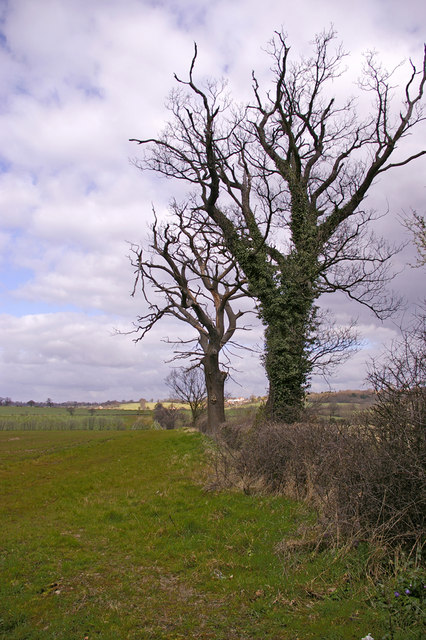 Old Trees on Farmland, Enfield Road, North side