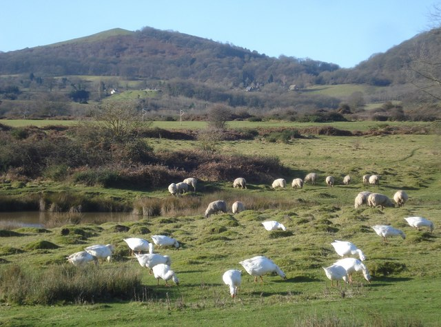 Geese and Sheep grazing on Hollybed Common