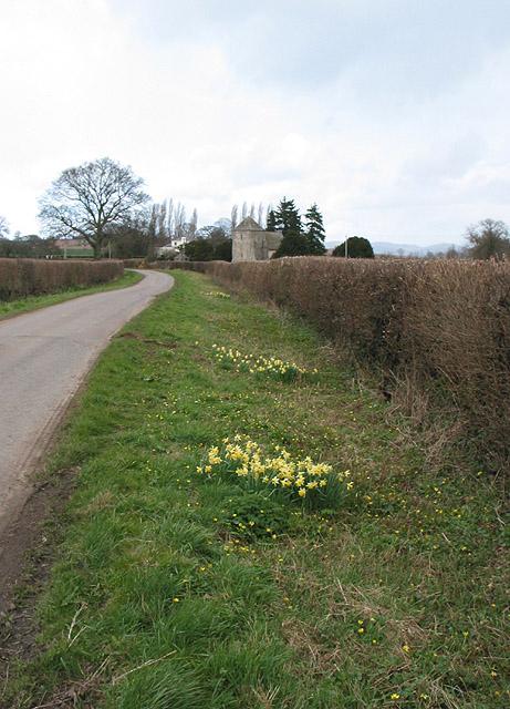 Roadside daffodils, Kempley