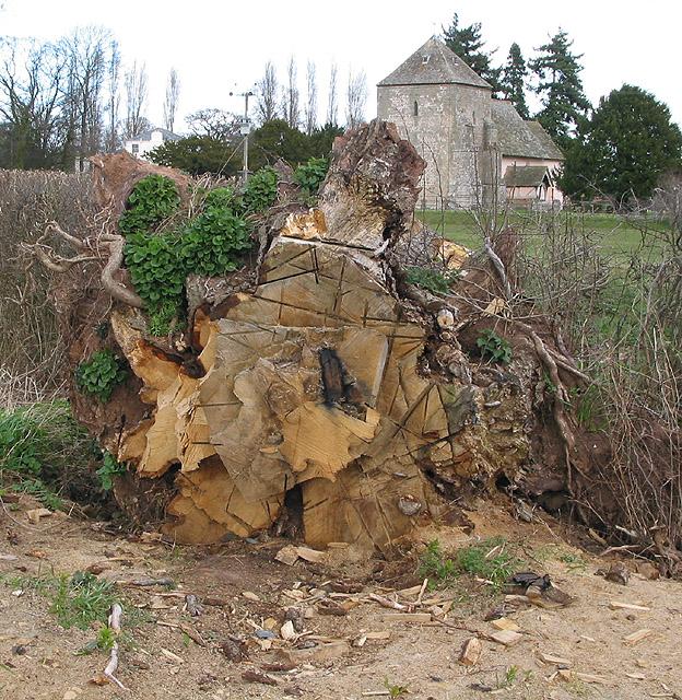 Felled oak