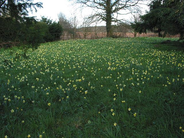 Wild daffodils in St. Mary's churchyard, Kempley
