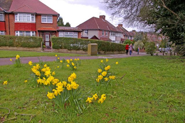 Daffodils beside Cycle Track, Enfield Road, Enfield, EN2