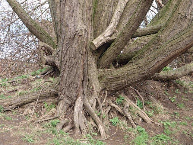 Willow tree roots near the weir on the River Calder