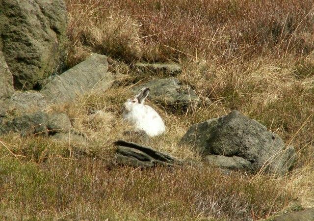 A Mountain Hare (Lepus timidus)