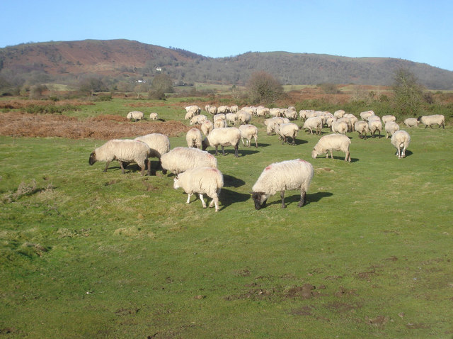 Sheep grazing on Hollybed Common