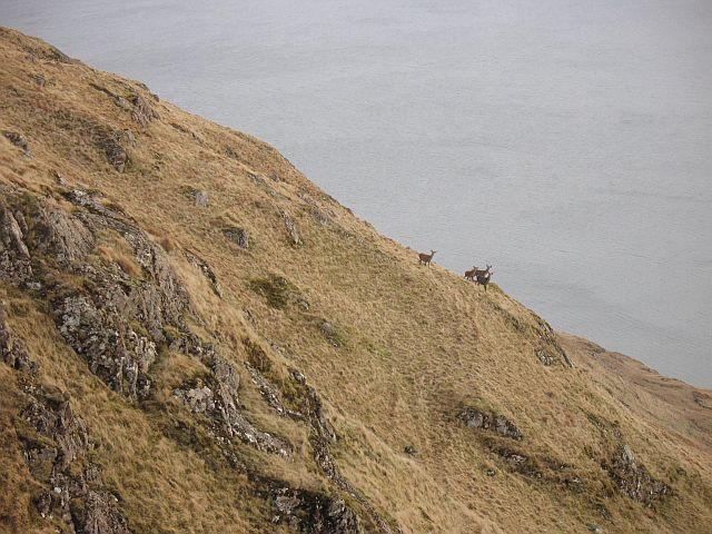 Deer, Druim na Maoldalach