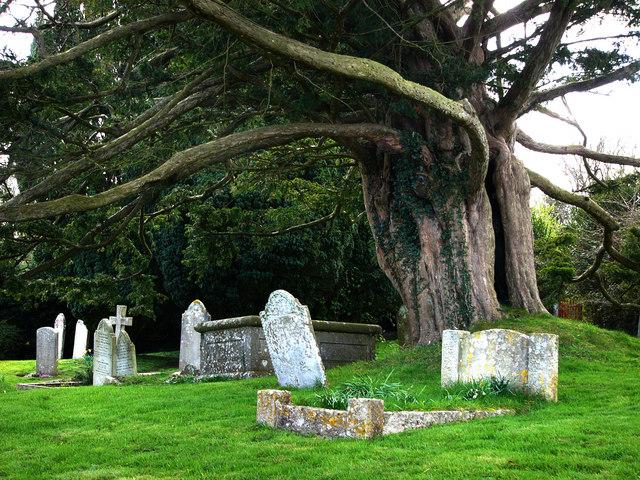 St Nicholas churchyard, Studland, Old Yew