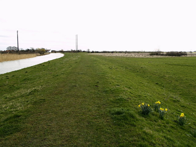 Daffodils on the bank of the River Hull