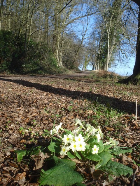 Early primrose at Chase End